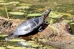 Red-bellied Cooter (Eric E Haas) Tags: animals northernredbelliedcooter pseudemysrubriventris reptiles sony70300mmgii testudines lens edgemere maryland unitedstates usa
