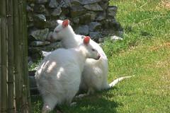 Albino Wallabees (jlf1938) Tags: zoo northgeorgia wallaby