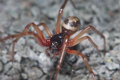 Steatoda nobilis male Arachtober 23 (Procrustes2007) Tags: spider steatoda arachnid arachtober steatodanobilis noblefalsewidow macro male nikond50 sudbury suffolk uk