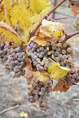 "Baker County Tourism – basecampbaker.com 50731 (Baker County Tourism) Tags: ""copperbeltwinery"" rielsing grapes vineyards harvest ""copperbelt"" motherlode ""motherlodecellars"" wine winery winemaker ""winetasting"" ""oregonwine"" ""oregonwinery"" keating ""bakercounty"" oregon ""easternoregon"" bakercountytourism"" basecampbaker ""traveloregon"" ""oregonwinecountry"" vineyard tourism ""winetourism"" ""travelusa"" snakeriveravaoregonwinepress visittheusa culinarytourism oregonagriculture grapeharvest autumncolor fall fallcolor fallfoliage"