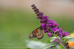 Monarch 2 (Kenjis9965) Tags: sonya7iii 150600mmf563dgoshsm|c sigma 150600mm f563 dg os hsm c contemporary mc11 converter sony a7 mark iii a7iii monarch butterfly bush feeding beautiful damaged wing nature insect flying