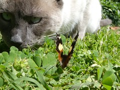 An Australian Admiral faces the Storm (glcoote) Tags: southaustralia sa southaustralian gregcoote cat butterfly australianadmiral australianadmiralbutterfly vanessaitea felissilvestriscatus mygarden
