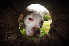 Picture of the Day (Keshet Kennels & Rescue) Tags: rescue kennel kennels adoption dog ottawa ontario canada keshet large breed dogs animal animals pet pets field tree forest nature photography hollow log american pitbull pit bull pittie pitty snout tube