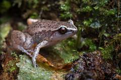 DSC_8111 (RhysSharryArchive) Tags: amphibia amphibian anura australia austrochaperina austrochaperinapluvialis cairns frog microhylid microhylidae queensland rhyssharry whitebrowedwhistlingfrog wildlife