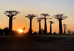 181001 Sunset at Avenue of the Baobabs (BY Chu) Tags: madagascar morondava avenueofthebaobabs adansonia baobab sunset