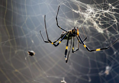 AngleSpidey (mehtab94) Tags: nature spider spiders summer fall wildlife natgeo scary halloween insect web cobweb colors garden