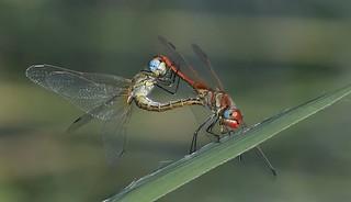 Red-veined Darter Dragonflies      (Sympetrum fonscolombii)