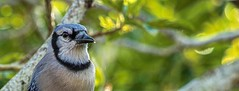 A Jay Today (ACEZandEIGHTZ) Tags: cyanocitta cristata blue jay bird nikon d3200 backyard birdwatcher nature bokeh