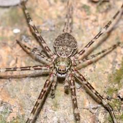 Mexican Two-tailed Spider - Arachtober 3rd (jciv) Tags: mexicantwotailedspider spider tailedspider texas file:name=dsc00777 arachtober arachtober2018 arachnid arachnids arachnida araneae araneomorphae entelegynes hersiliids hersiliidae neotama longspinneretspider neotamamexicana taxonomy:binomial=neotamamexicana