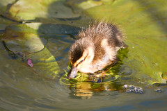 baby duckling on lilypads 132 (1 of 1) (PaulUdoErnstWiesner) Tags: portrait portraits portraiture feelgoodphoto selfportrait face eyes mouth lips hair me myself cute selfshot pose moi closeup love instalovers instafamous life model selfie selfies