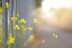 The Ugly Fence... #HFF #HappyFenceFriday (KissThePixel) Tags: happy happyfencefriday happyfriday fence fencefriday fencephotography fencebokeh metalfence uglyfence ugly friday frifenceday nikon nikond750 50mm f14 14 sigma sigmaart trainline light autumn autumnlight october flower weed yellow yellowflower hiddenbeauty beauty macro closeup bokeh bokehlicious depthoffield dof dofalicious