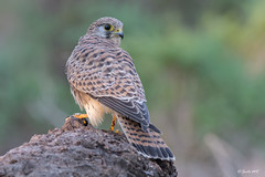Cernícalo vulgar (Hembra) (Sento74) Tags: cernícalovulgar falcotinnunculus nikond500 tamron150600g2 fauna aves birds rapaces