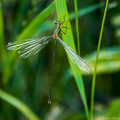 Le temps d'un pause !!! (musette thierry) Tags: musette photographie thierry d800 nikon insecte animalier nature libellule vert printemps