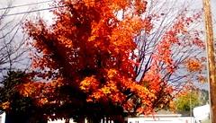 Autumn Colors! -TMT (Maenette1) Tags: autumn colors tree branches menominee uppermichigan treemendoustuesday flicker365 allthingsmichigan absolutemichigan projectmichigan