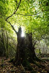 Keeper of veteran beech tree universe (Daniel James Greenwood) Tags: ebernoecommon sussexwildlifetrust nikond750 danielgreenwood danielgreenwoodphotography westsussex sussex