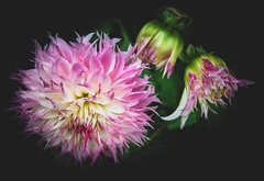 The End of Summer (photofitzp) Tags: dahlia flowers garden summer2018 colours