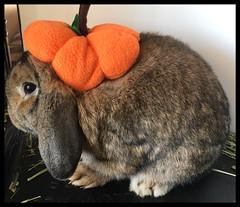 Oct 17. Pumpkin Bun, anyone? (markdavidsmom) Tags: petcostume pumpkinpatch lop hollandlop october halloweencostume sweet cuddly cute love pet rabbit bunny autumn fall petcostumes pumpkin