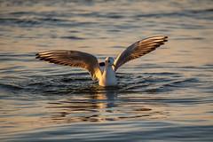 _OLY0063 (dadudawien) Tags: ostsee vögel penf
