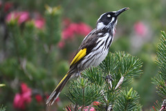 New Holland Honeyeater (philk_56) Tags: perth western australia ellis brook valley reserve nature park sixty foot falls new holland honeyeater gosnells