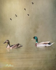 Mallards on Lake....(Explored) (Patlees) Tags: mallards lake textured birds gregfoster thanks explored frontpage