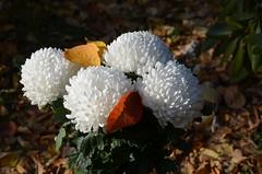Ах, Осень!!! Время хризантем…  Ты в танго с ними закружила... (Angelok-Happy) Tags: сад белыецветы хризантемы букет осень природа очарование