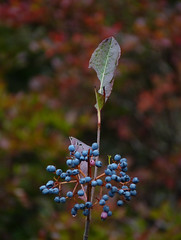 Silky Dogwood (Dendroica cerulea) Tags: silkydogwood cornusamomum cornus cornaceae cornales shrub plant fruit whitesbog whitesbogvillage brendantbyrnestateforest lebanonstateforest pinebarrens newjerseypinelands burlingtoncounty nj newjersey fav10