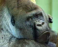 Western lowlandgorilla Bokito Blijdorp 094A0139 (j.a.kok) Tags: gorilla westelijkelaaglandgorilla westernlowlandgorilla lowlandgorilla laaglandgorilla animal africa afrika aap ape mammal monkey mensaap primate primaat blijdorp zoogdier dier bokito