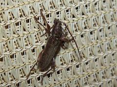 Cerambycidae Cerambycinae Longicorn Beetle DSCF9491 (Bill & Mark Bell) Tags: geo:town=exmouth geo:state=westernaustralia geo:country=australia geo:lon=11425453egeolat2217752sgeoalt8m 11425453e2217752salt8m taxonomy:kingdom=animalia taxonomy:phylum=arthropoda taxonomy:class=insecta taxonomy:order=coleoptera taxonomy:family=cerambycidae taxonomy:subfamily=cerambycinae taxonomy:genus=pachydissus taxonomycommonnameeucalyptlongicornbeetle beetle
