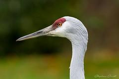 Sandhill Crane - Antigone canadensis (Steve Owst Photography (www.steveowst.com)) Tags: sandhillcrane antigonecanadensis