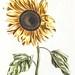 A sunflower by Johan Teyler (1648-1709). Original from the Rijks Museum. Digitally enhanced by rawpixel.