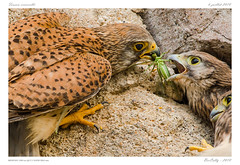 Nourrissage | Feeding (BerColly) Tags: france auvergne puydedome oiseau bird fauconcrécerelle commonkestrel portrait bercolly google flickr