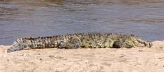 Crocodile - Crocodylus niloticus (Patrick Gregerson) Tags: 2018 africa august canon5dmarkiv serengeti sigma150600mm tanzania magnificent nationalpark outdoors outside wildlife crocodylusniloticus marariver beach sleeping sand riverbank waiting predator water river outdoor