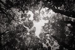 forest pathways (birdcloud1) Tags: forest foreststories trees canopy monochrome blackandwhite woods newzealandbush newzealandforest manuka equilibrium balance foliage lightanddark upward forestcanopy pathways canoneos80d eos80d 1855mm canon1855mm amandakeoghphotography amandakeogh birdcloud1 niksilverefex forestpathways