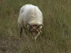 You can't see me, can you ? (joeke pieters) Tags: 1430458 panasonicdmcfz150 raesfeld münsterland duitsland deutschland germany tiergartenschlossraesfeld schaap sheep ngc coth5