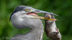 Got this heron right where I want it..... (NikonNigel) Tags: birds brownrat copyright©nigelcox copyrights greyheron nature printed