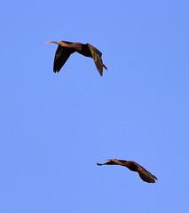 11-12-18-0041906 (Lake Worth) Tags: animal animals bird birds birdwatcher everglades southflorida feathers florida nature outdoor outdoors waterbirds wetlands wildlife wings