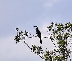 11-12-18-0041919 (Lake Worth) Tags: animal animals bird birds birdwatcher everglades southflorida feathers florida nature outdoor outdoors waterbirds wetlands wildlife wings
