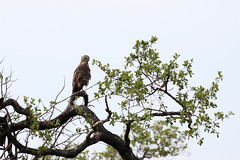 Brown Snake Eagle (Circaetus cinereus) (Brendan A Ryan) Tags: brownsnakeeagle circaetuscinereus
