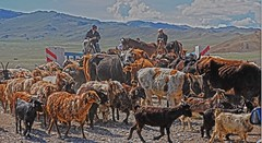 Traffic Jam Western Mongolia DSC_1875 (JKIESECKER) Tags: mongolia westernmongolia animals cows sheep goats herders asia centralasia nomadicherders landscapes portrait peopleportraits animalportrait animalcrossing peopleandnature