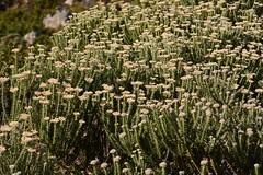 Metalasia muricata (galanhsnu) Tags: metalasiamuricata metalasia gnaphalieae asteroideae asteraceae rooiels southafrica asterales