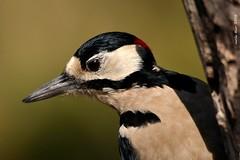 picot (Enllasez - Enric LLaó) Tags: aves aus bird birds ocells pájaros 2018 hide picot vallbona lleida