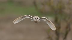 Barn owl flight (haye_kevin) Tags: barn owl fliying staffordshire canon 5d mk3 ef 500mm f4 mk2