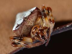Verrucosa arenata (bob_kallal) Tags: macro spider orbweaver animal