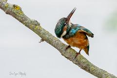Rien derrière ? (denis.loyaux) Tags: alcedoatthis alcédinidés ariège commonkingfisher coraciiformes denisloyaux domainedesoiseaux martinpêcheurdeurope mazères nikondd850 nikonafs600f4vr bird france oiseau