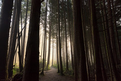 Forest Mist (josullivan.59) Tags: 2018 artistic bc britishcolumbia canada october tofino vancouverisland backlit day detail fog forest green landscape light lightanddark mist morning nature nicelight outdoor outside rainforest texture trail trees wallpaper warm woods naturallight travel