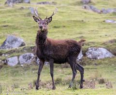 Scottish deer (J-McQuillan) Tags: scotland deer wildlife nature