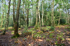 (Leela Channer) Tags: sussex woods nature birch trees countryside england