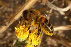 Wild honey bee para Conall, Santolina sp. (bego vega) Tags: abeja bee hymenoptera himenoptero apoidea apidae apis mellifera miel honeybee insect insecto santolina macro madrid vf campirri bego vega bv veguita begovega