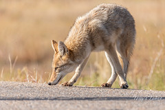 Coyote keeps its nose to the ground
