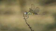 Sympetrum fonscolombii. Female. (Ricardo Menor) Tags: odonatos odonata anisópteros libélulas dragonflies dragonfly airelibre iluminaciónnatural insecto macrofotografía canon60d 2018 sympetrumfonscolombii hembra female panorámica elsalse elsalse2018 panorámicadeodonato